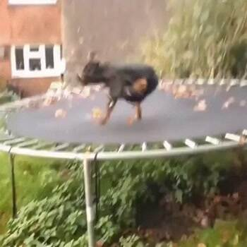 this dog loves trampolines