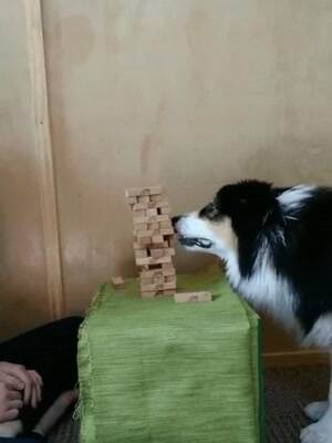Awesome dog playing some Jenga