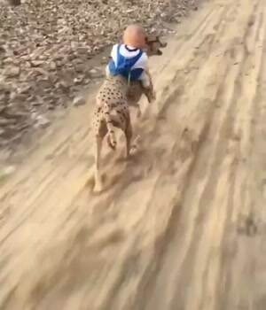 A cheetah and a baby racing like the wind