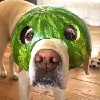 The watermelon dog
