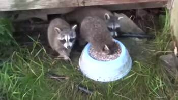 The happiest Racoon ever
