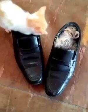 Shoe Kitties