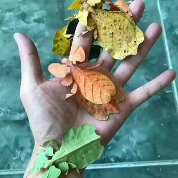 Leaf Insect's Mimicry to Nature
