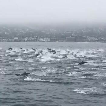 Large school of dolphins