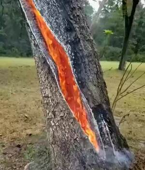 This tree on fire after a lightning strike